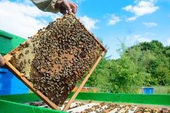 Apicultor que sostiene un panal lleno de abejas Apicultor Inspecting Honeycomb Frame en el colmenar Concepto de la apicultura Foto de archivo