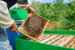 Apicultor que sostiene un panal lleno de abejas Apicultor Inspecting Honeycomb Frame en el colmenar Concepto de la apicultura Foto de archivo libre de regalías
