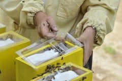 Apicultor que trabaja con la colmena de acoplamiento Imagen de archivo