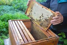 apicultura Apicultor que se sostiene con su marco de las manos del panal de la colmena con las abejas de trabajo de la miel Imagen de archivo