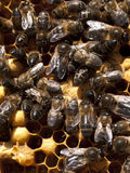Apiculture Stock Images