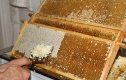 Apiculture, removing wax lids from the honeycombs Royalty Free Stock Image