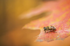 Apidae sociales. Sitting on red fall list stock photography