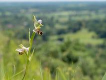 Apifera del Ophrys de la orquídea de abeja en las colinas del norte de los plumones Foto de archivo libre de regalías