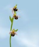 Apifera del Ophrys, orquídea de abeja en fondo del cielo azul Fotografía de archivo libre de regalías