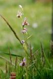 Apifera do Ophrys da orquídea de abelha Imagem de Stock