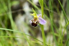 Apifera Ophrys, μια ορχιδέα μελισσών στην άνθιση Στοκ εικόνα με δικαίωμα ελεύθερης χρήσης