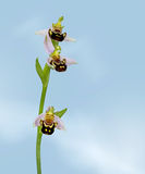 Apifera Ophrys, ορχιδέα μελισσών στο υπόβαθρο μπλε ουρανού Στοκ φωτογραφία με δικαίωμα ελεύθερης χρήσης