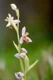 Apifera Ophrys ορχιδεών μελισσών Στοκ Φωτογραφία