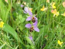 Apifera Ophrys, известное в Европе как орхидея пчелы стоковое фото