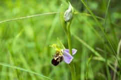 Apifera Ophrys, одна орхидея пчелы в цветени стоковые фотографии rf