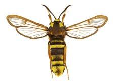 apiformissesia arkivbilder