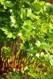 Apio de monte creciente fresco Foto de archivo libre de regalías