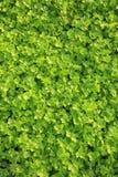 Apio verde en crecimiento Imagen de archivo