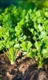 Apio verde en jardín Imagen de archivo libre de regalías