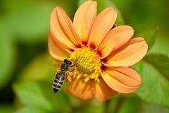 apis蜂mellifera硬币工作者 库存图片