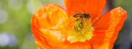 Apis de la abeja en la flor del nudicaule de Poppy Papaver del hielo Fotografía de archivo libre de regalías