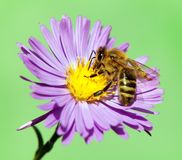 Apis Mellifera пчелы или пчелы на фиолетовом цветке Стоковые Фотографии RF