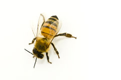 Apis mellifera Royalty Free Stock Photos
