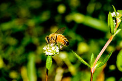 Apis mellifera Bee collecting nectar royalty free stock images