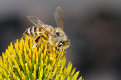 Apis mellifera, buckfast, honey bee Royalty Free Stock Photography