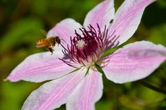 Honeybee on clematis. Apis mellifera collecting pollen on a Clematis flower in the spring Royalty Free Stock Images