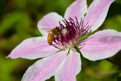 Honeybee on clematis. Apis mellifera collecting pollen on a Clematis flower in the spring Royalty Free Stock Photo