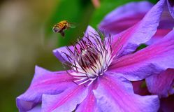HONEYBEE ON CLEMATIS. Apis mellifera collecting pollen on a Clematis flower in the spring Stock Image