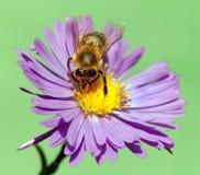 Apis Mellifera de la abeja o de la abeja en la flor violeta Foto de archivo libre de regalías