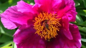 Apis Mellifera de las abejas que recoge el polen de la flor china de la peonía, 4K metrajes