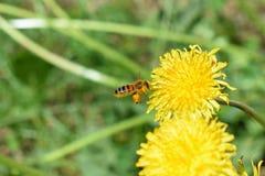 Apis mellifera dell'ape del miele di volo fotografie stock libere da diritti