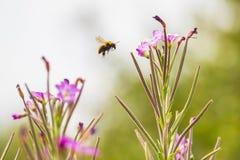 Apis mellifera dell'insetto dell'ape del miele che impollina sui fiori rosa fotografia stock