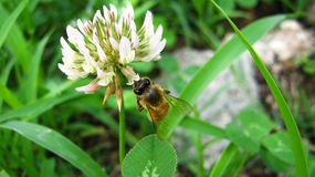 Apis mellifera Stock Photo