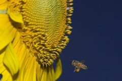 Apis mellifera Honey Bee meets Sunflower Stock Photos