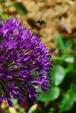 Apis mellifera occidentale dell'ape del miele che atterra sul fiore viola decorativo della cipolla persiana, anche chiamato Dutch Fotografia Stock