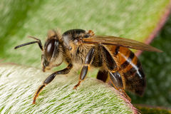 Apis mellifera western honey bee Royalty Free Stock Images