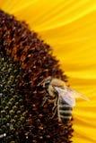 Apis occidentales Mellifera de la abeja de la miel en el girasol (helianthus annuus) Imagen de archivo