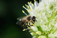 apis pszczoły mellifera specie pracownik Zdjęcia Royalty Free