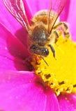 apis pszczoły miodu mellifera Zdjęcie Stock