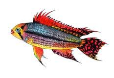 Apistogramma cacatuoides双红美冠鹦鹉丽鱼科鱼 额嘴装饰飞行例证图象其纸部分燕子水彩 库存照片