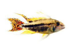 Cockatoo dwarf cichlid Royalty Free Stock Images
