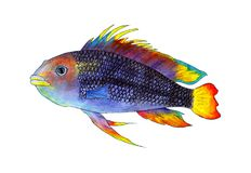 Apistogramma de los pescados del acuario, pescado tropical stock de ilustración