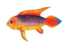 Apistogramma dos peixes do aquário, peixe tropical Fotografia de Stock
