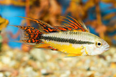 Apistogramma fish Stock Image