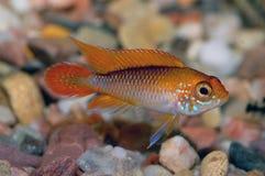 Apistogramma fish Royalty Free Stock Photo