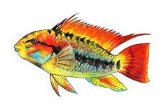 Apistogramma macmasteri 热带的鱼 额嘴装饰飞行例证图象其纸部分燕子水彩 库存照片