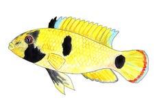 Apistogramma nijsseni,熊猫矮小的丽鱼科鱼 水族馆鱼,热带鱼 额嘴装饰飞行例证图象其纸部分燕子水彩 免版税库存图片