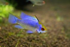Apistogramma ramirezi. Or Mikrogeophagus ramirezi (electric blue) male Stock Photography