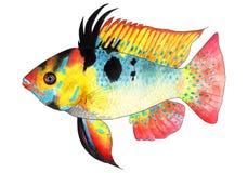 Apistogramma ramirezi Microgeophagus ramirezi 矮小的蝴蝶丽鱼科鱼 水族馆鱼,热带鱼 图库摄影
