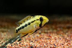Apistogramma sp. D12 synonym: sp. Pacman. Captured in Rio Guaviare drainage, Colombia royalty free stock photography